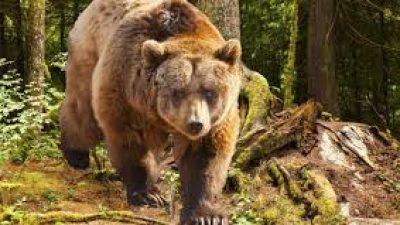 Δήμος Εμμανουήλ Παππά : Συνεχίζουν τις βόλτες στον κάμπο οι αρκούδες