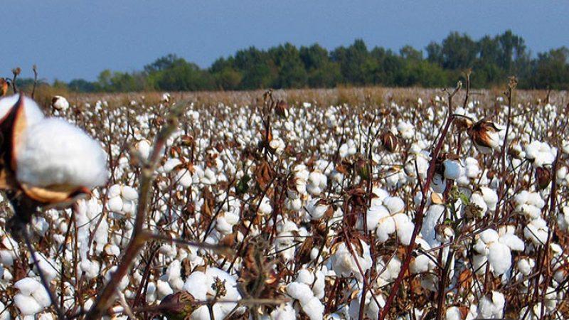 Π.Ε. Σερρών : Βασικές οδηγίες για την καλλιέργεια βαμβακιού