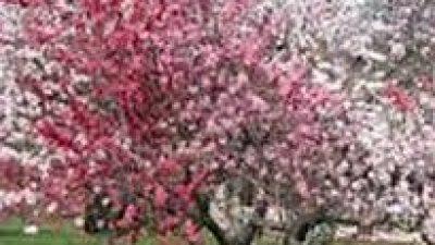 Π.Ε Σερρών : Οδηγίες για τους καλλιεργητές κερασιάς και ροδακινιάς