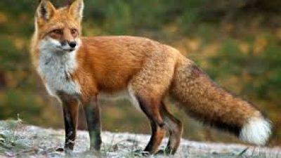 Π.Ε Σερρών : Ολοκληρώθηκε  η εμβολιαστική εκστρατεία κατά της λύσσας για τις κόκκινες αλεπούδες