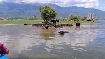 Π.Ε Σερρών : Βούτηξαν στη λίμνη Κερκίνη οι νεροβούβαλοι (ΦΩΤΟ)