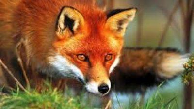 Π.Ε Σερρών : Παρατείνεται το πρόγραμμα εμβολιασμού των κόκκινων αλεπούδων