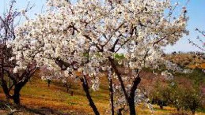 Π.Ε Σερρών : Οδηγίες για τους καλλιεργητές αμυγδαλιάς και αμπελιου