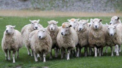 Τα πρόβατα μπερδευθηκαν με τους Μητροπολίτες