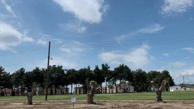 Επιμελητήριο Σερρών : Μεταφύτευση υπεραιωνόβιων ελιών στο πρώην στρατόπεδο Κολοκοτρώνη