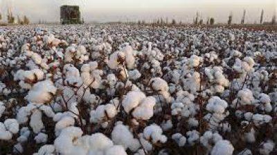 ΔΑΟΚ Σερρών : Προειδοποιήσεις για την βαμβακοκαλλιέργεια