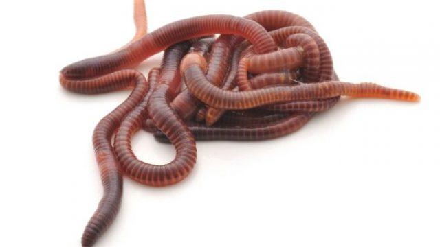 worms-skoulikia-750x375-1.jpg